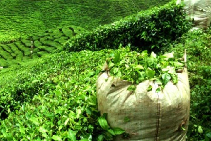 Tea bagan in India