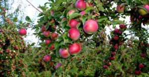 Apples-Himanchal