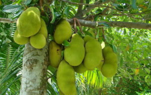 Jackfruit seeds could substitute cocoa beans to make chocolate